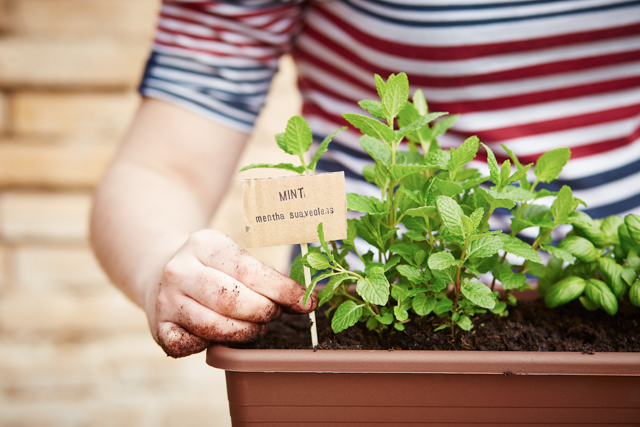 Mint plant on urban garden