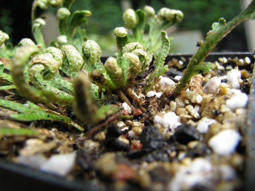 Selaginellea lepidophylla