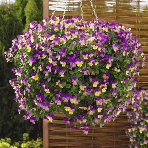 flor pensamiento - planta pensamiento - planta de pensamiento - pensamiento planta - planta el pensamiento - planta del pensamiento - flores de pensamiento