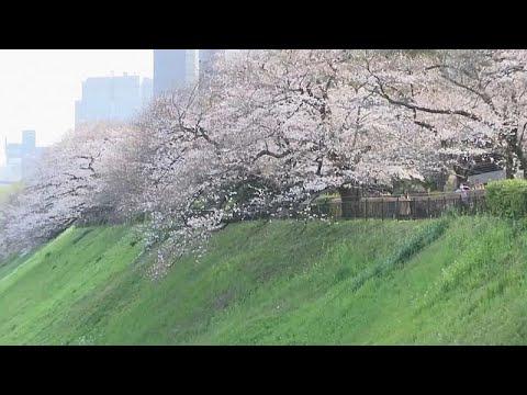las flores de los cerezos un esp